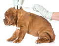 Veterinary care dogue de bordeaux being microchipped isolated on white background weeks old Royalty Free Stock Image