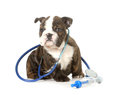 Veterinary care english bulldog puppy with stethoscope and needle isolated on white background weeks old Stock Photo