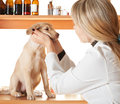 In a veterinary clinic puppy golden color for examination Stock Image