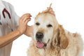 Veterinary clinic veterinarian performing a cleaning ears of a golden retriever in the Royalty Free Stock Image