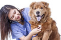 Veterinary doctor at work lady examining a dog with stethoscope isolated in white background Royalty Free Stock Photos