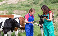 Veterinary on a farm performing physical examination in cow Stock Photography