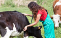 Veterinary on a farm performing physical examination in cow Stock Photo