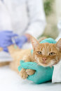 Veterinary giving the vaccine to the cat little Stock Photos