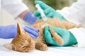 Veterinary giving the vaccine to the little cat on table veterrinary Stock Photo