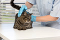 Veterinary the image with a cat in a clinic Royalty Free Stock Images