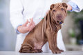 Veterinary surgeon is giving the vaccine to the dog Shar-Pei Royalty Free Stock Photo