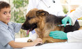 Veterinary surgeon is giving the vaccine to the german shepherd dog focus on dog Stock Image