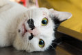 Veterinary surgeon neutering a cat Royalty Free Stock Photo