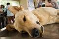 Veterinary surgeon neutering a dog Royalty Free Stock Photo