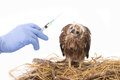 Veterinary trying to vaccine young sea eagle select focus at Royalty Free Stock Image