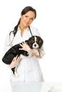 Veterinary woman with spaniel young positive brunette Royalty Free Stock Photography