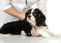 Veterinary woman with spaniel young positive brunette holding wounded leg Stock Images