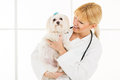 At the veterinary young female holding a maltese dog doctor s office Stock Photography