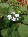 VI Rainy Day Flower Royalty Free Stock Photo
