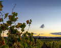 Vibrant autumn vineyard leaves at sunset in Napa Valley Califor Royalty Free Stock Photo