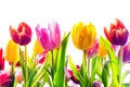 Vibrant background of colourful spring tulips in red yellow and pink with their fresh green leaves isolated on a white Stock Image