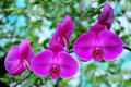 Vibrant beautiful hybrid orchids natural background Royalty Free Stock Images