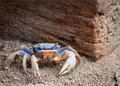 Vibrant blue and red sand crab Royalty Free Stock Photo