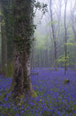 Vibrant bluebell carpet spring forest foggy landscape beautiful of flowers in misty Stock Image