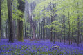 Vibrant bluebell carpet spring forest foggy landscape beautiful of flowers in misty Royalty Free Stock Photography