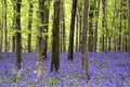 Vibrant bluebell carpet Spring forest landscape Royalty Free Stock Photo