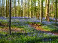Vibrant bluebell woodland during spring, Belgium Royalty Free Stock Photo