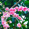 Vibrant bright pink spring blossoms in Japan. Royalty Free Stock Photo