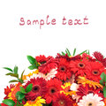 Vibrant Colorful Daisy Gerbera Flowers Stock Image