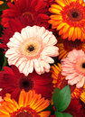 Vibrant Colorful Daisy Gerbera Flowers Royalty Free Stock Images