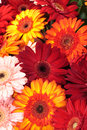 Vibrant Colorful Daisy Gerbera Flowers Royalty Free Stock Image