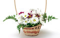 Vibrant Flowers Daisies in Basket Stock Photography