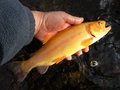 Vibrant golden trout photo of caught from a maryland stream this is a man made colorful fish which is the Stock Images