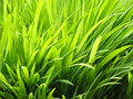 Vibrant grass close up photo of bright Royalty Free Stock Photography