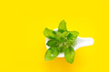 Vibrant green basil on white modern spoon and yellow colorful background Royalty Free Stock Photo
