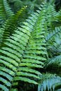 Vibrant Green Fern Plant in the Tropics Royalty Free Stock Photo