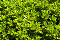 Vibrant green foliage of buxus tree Stock Photo