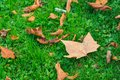 Vibrant Green Grass Under Fall Maple Leaves Ground Autumn Season Royalty Free Stock Photo