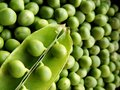 Vibrant green image of top view macro closeup of an opened green peas pod with peas placed on top diagonally at bottom left corner Royalty Free Stock Photo