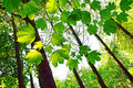 Vibrant green spring leaves in the forest Royalty Free Stock Photo