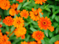 Vibrant orange floweres Royalty Free Stock Photos