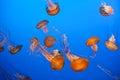 Vibrant orange jellyfish Royalty Free Stock Photo