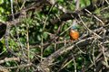 Vibrant colours of female kingfisher Alcedo atthis perched on winter tree branches
