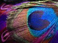 Vibrant peacock feather vibrantly coloured individual with prominent heart shape Stock Image