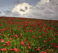 Vibrant poppy fields under moody dramatic sky Stock Photo