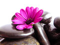 A vibrant purple Cape Marguerite Daisy with stones Royalty Free Stock Photo