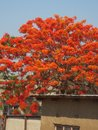 Vibrant red and orange fire tree Royalty Free Stock Photo