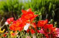 Vibrant Red Poppies In Bright ...