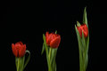 Vibrant red tulips on black background a Stock Photography