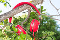 Vibrant red wired headphones on the branch of tree Royalty Free Stock Photography